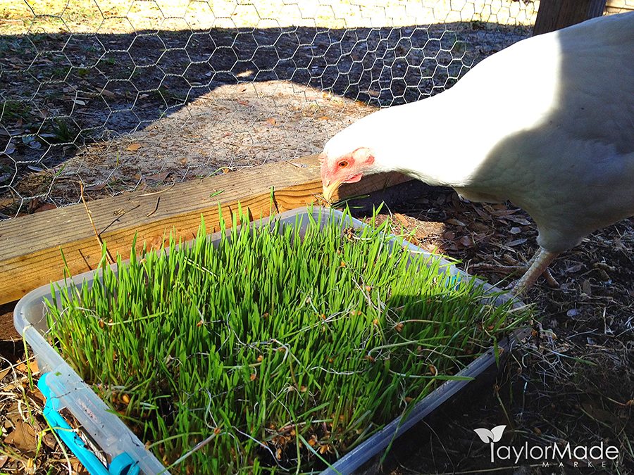 wheatgrass chickens