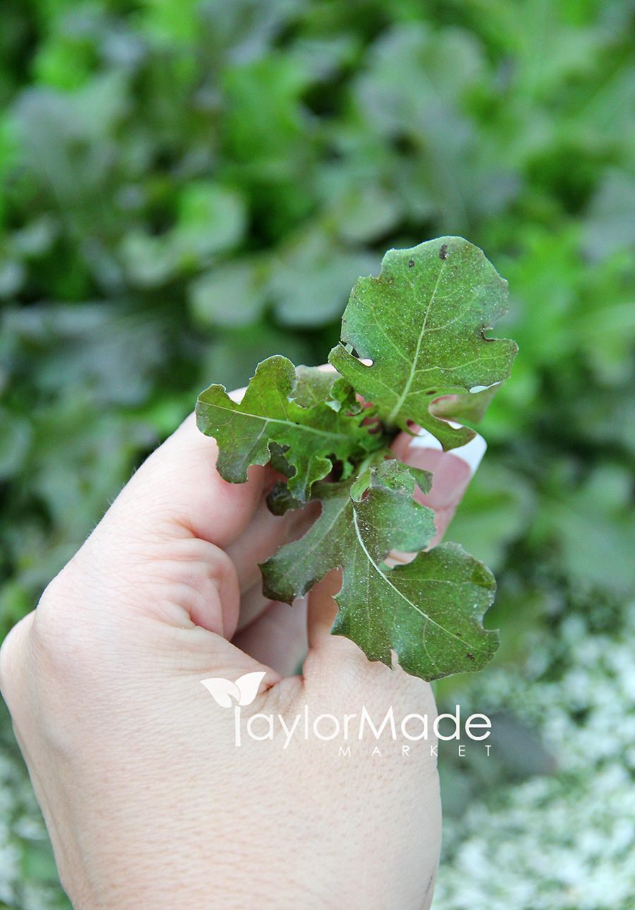 micro lettuce