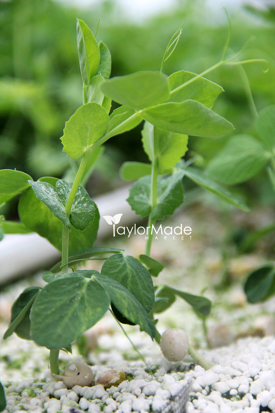 microgreen pea shoot vertical
