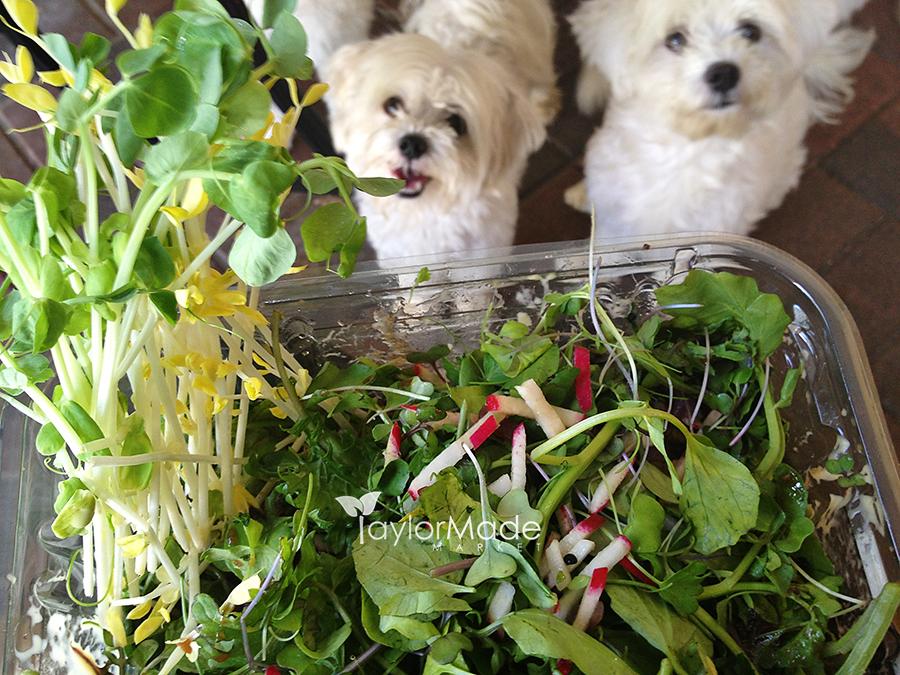 microgreen salad maltese