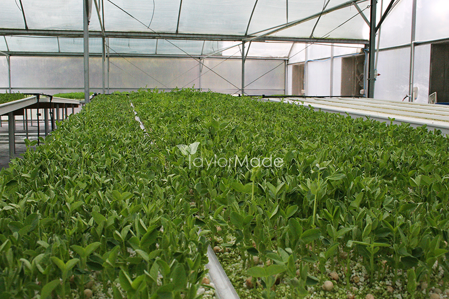 microgreens inside greenhouse