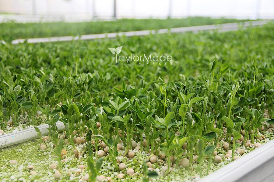 microgreens pea shoots